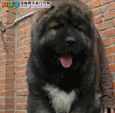高品质俄系熊版长沙高加索犬促销 可签订终身质保协议