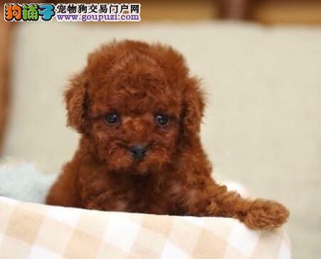 南京出售纯种贵宾幼犬, 健康终身保障签协议送狗用品