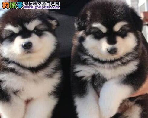 太原专业繁殖高品质赛级直系阿拉斯加幼犬 可送货刷卡