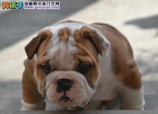 高气质大鼻筋的斗牛犬直销中 无锡的朋友上门选购爱犬