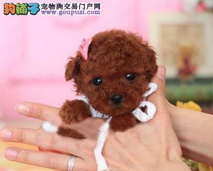 毛量大眼睛大的南京泰迪犬找爸爸妈妈 可签售后协议书
