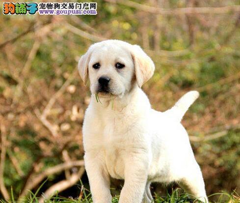 专业繁殖纯种拉布拉多幼犬 南宁的朋友上门选购爱犬
