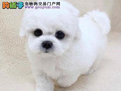 出售优秀可爱卷毛比熊犬 深圳地区有实体店放心购买