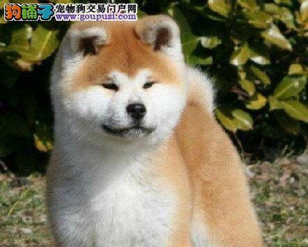 青岛正规繁殖基地出售日系秋田犬 喜欢随时上门选购