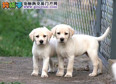 三个月的杭州拉布拉多犬找新家啦 毛量大纯血统