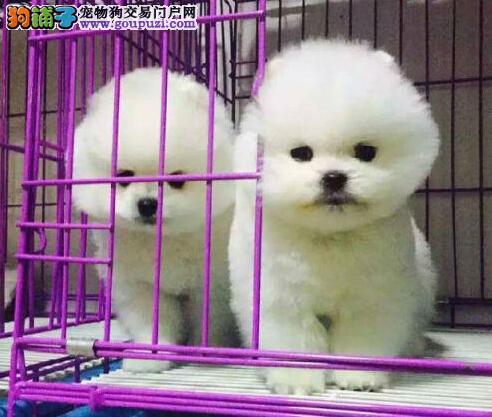 最大的博美犬基地 完美售后微信咨询看狗狗视频