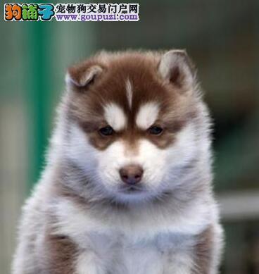 福州实体店销售三火蓝眼哈士奇犬支持送货上门