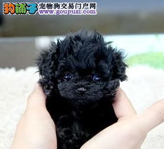 体型小血统纯正的泰迪犬热销福州地区购犬送狗粮