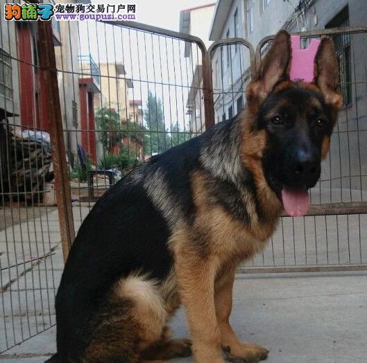 大型犬舍出售锤系上海德国牧羊犬 已驱虫可上门看狗