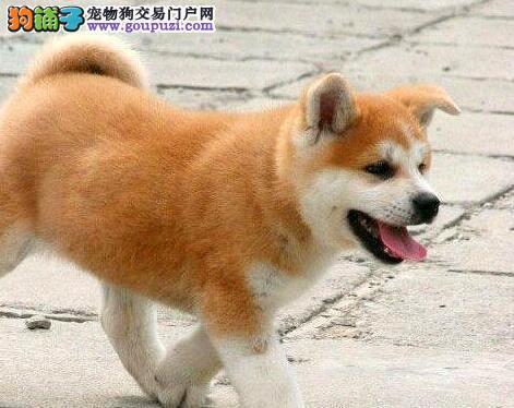 青岛养殖场热销钻石品质秋田犬 赛级精品包纯种