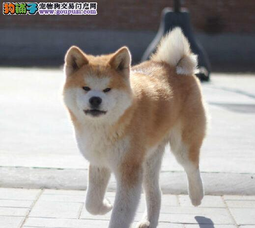 出售纯种日系成都秋田犬 价格优惠品质高外地可运输