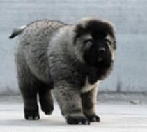 欢迎来深圳犬舍上门挑选纯种高加索犬 多只可选保品质