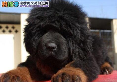 优惠价格出售纯种原生态藏獒 南宁附近地区可送狗