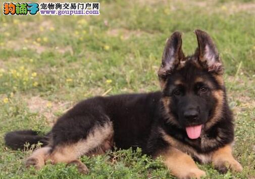 精品纯种德国牧羊犬特价转让 可来济南犬舍直接购买