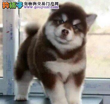 健康南宁阿拉斯加雪橇犬出售中 有防疫证明购买有优惠