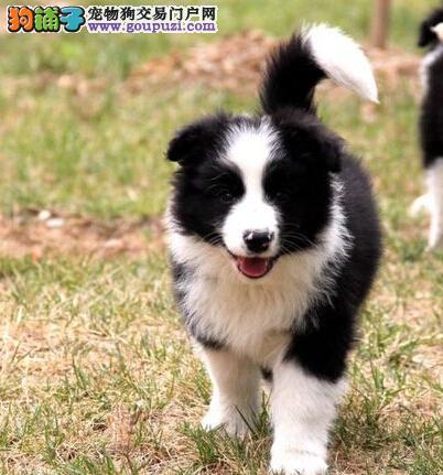 郑州狗场直销高智商纯种边牧幼犬 包健康签协议送用品