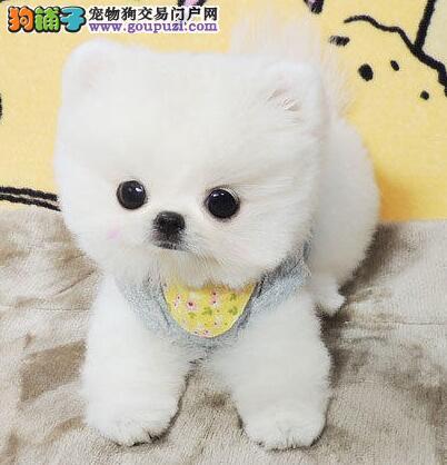 出售哈多利俊介血系的济南博美犬 签订合法协议书