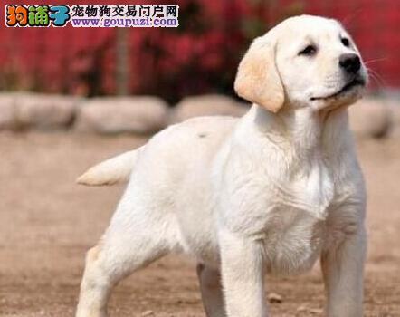 出售品相好血统纯正的南京拉布拉多犬 可随时送货上门