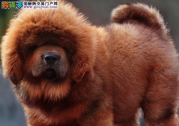 獒园出售极品纯种大狮头藏獒,铁包金獒,红獒