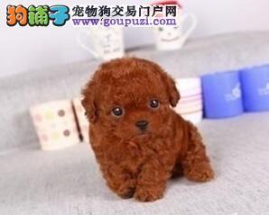 直销出售韩系血统泰迪犬 欢迎来武汉犬舍实地考察