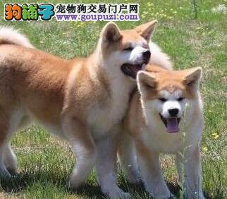 售赛级品质纯种的广州秋田犬 购犬签保障协议