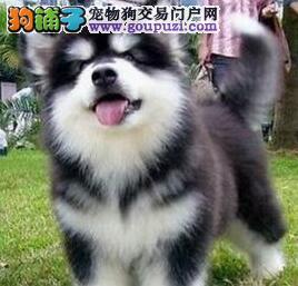 桃脸帅气的广州阿拉斯加犬低价出售 终身完美售后服务
