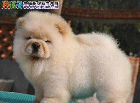 面包嘴超大头版的太原松狮犬直销中 超低价超高品质