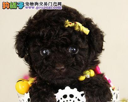 纯种韩国血统郑州贵宾犬热卖中 可刷卡可送货有协议