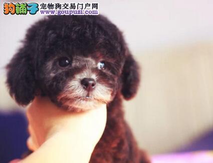 出售顶级优秀长沙贵宾犬 纯种韩国血统可接受预定