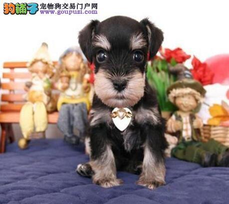 顶级犬舍出售优秀纯种椒盐色纯种上海雪纳瑞 有证书