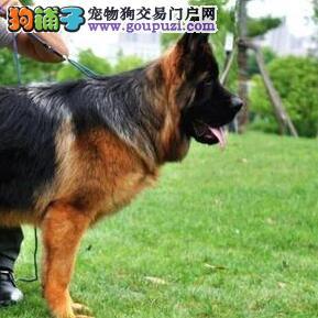 重庆哪里有卖德牧 重庆德牧多少钱重庆出售德牧