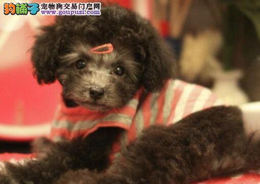 超好养贵宾犬乌鲁木齐出售 不掉毛有饲养手册 百姓价格
