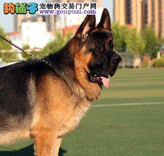 上海德国牧羊犬出售德国小牧羊犬出生