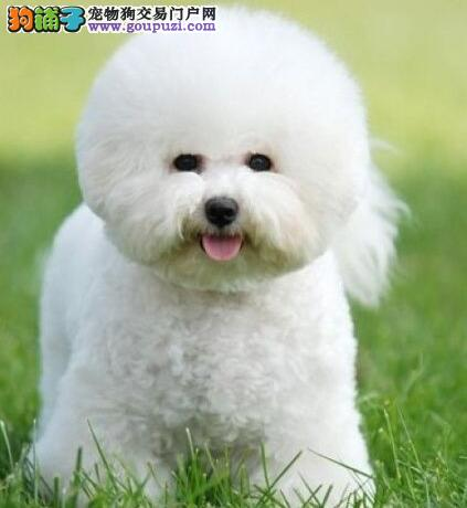 极品纯种优秀卷毛成都比熊犬特价转让 周边地区可送狗