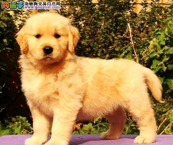 CKU犬舍认证出售高品质重庆金毛最优秀的售后