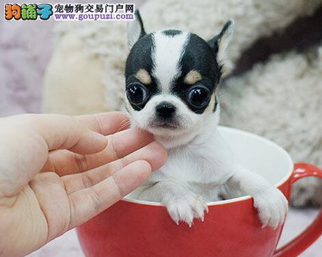 出售纯种苹果头吉娃娃犬 金鱼眼吉娃娃犬 疫苗已做完