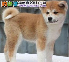 特价促销赛级秋田犬青岛地区购买可办理血统证书