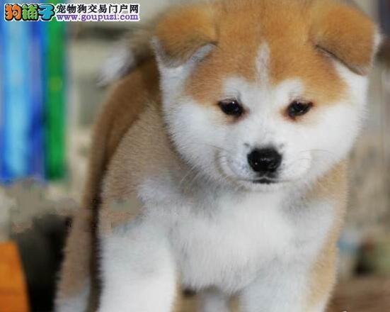 公母均有的常州秋田犬火爆热卖啦 可直接上门看狗