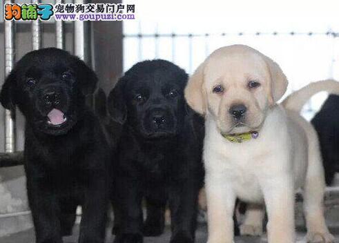 优秀昆明拉布拉多犬犬舍低价出售 已做好疫苗和驱虫