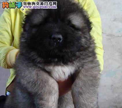 郑州大型养殖基出售高加索幼犬 赛级品质 极品中的极品