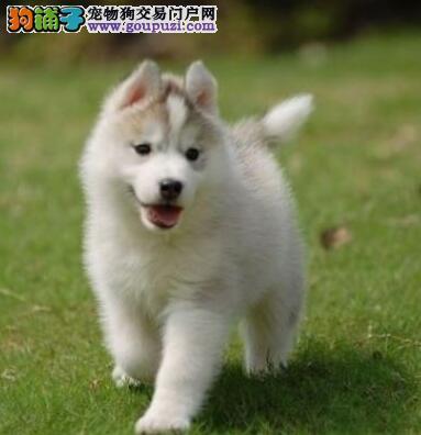 石家庄最专业权威犬舍 出售纯种哈士奇幼犬 三火蓝眼