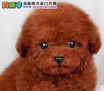 纯种韩系泰迪犬石家庄犬舍低价转让 进口血统国外引进