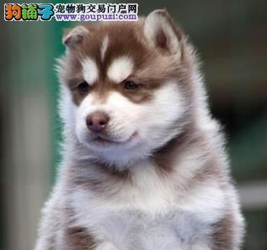 北京信誉狗场出售极品优秀哈士奇 可签署终身质保协议