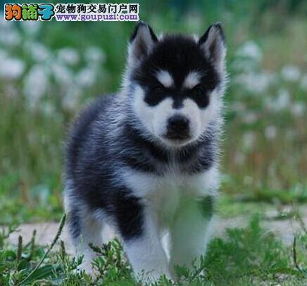 西宁知名犬舍低价出售三把火哈士奇幼犬 签订售后合同