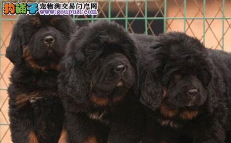 直销优秀狮王血系苏州藏獒 颜色多样品种齐全品相好