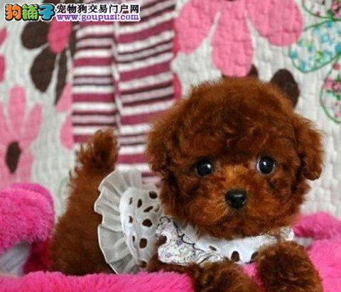 茶杯玩具血系可爱至极的武汉泰迪犬找新家 非诚勿扰