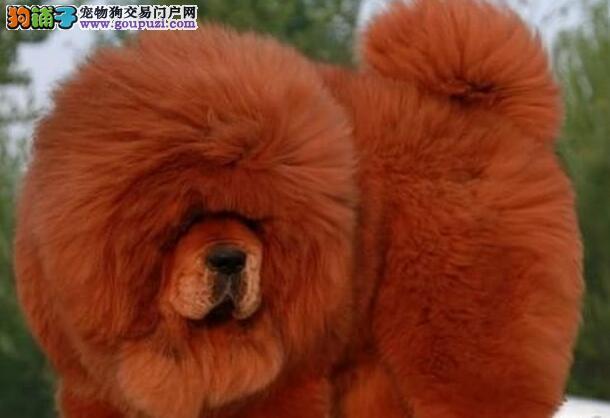 獒园售大狮子头铁头包金血系的南昌藏獒幼崽 非诚勿扰