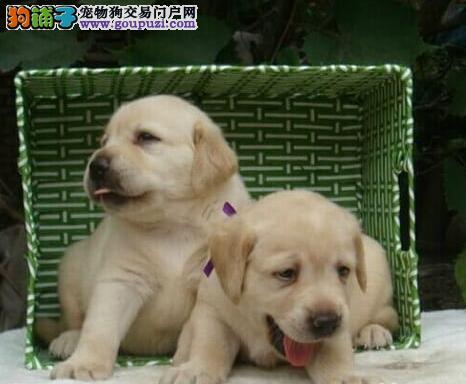 杭州专业养殖基地出售纯种拉布拉多犬 可办理血统证书