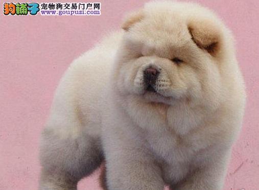 直销大嘴紫舌贵阳松狮犬 公母都有可上门看狗价格优惠
