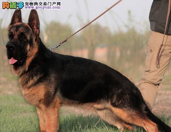出售大骨架毛量足帅气威武的合肥德国牧羊犬 可挑选